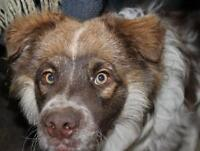 "Young Male Dog - Australian Shepherd: ""HARRY"""