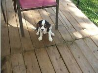 Nice Looking Courageous Cavalier King Charles Spaniel Puppies