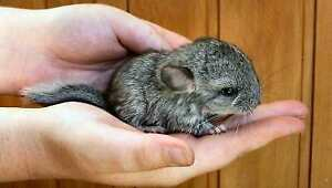 Adorable hand tamed baby chinchilla super friendly