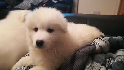 Samoyed Puppies For Sale Full Ikc Registered Belfast Northern Ireland Update 03 12 19 In Four Winds Belfast Gumtree