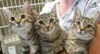 "Young Female Cat - Tabby: ""Kelly"""