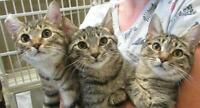 "Young Female Cat - Tabby: ""Michelle"""