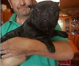 Registered French Bulldog Adult Breeding male/ female