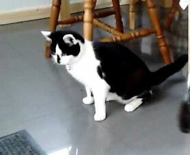 Missing black and white Cat from end of May.Female,spayed black smudge on nose and both ears white