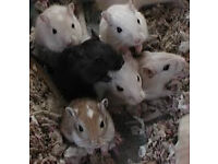 baby mongolian gerbils