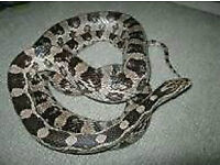 FEMALE ANERY CORN SNAKE