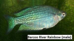 Barcoo River Rainbowfish (male I think) Tropical Rainbow Fish Gawler East Gawler Area Preview