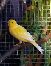 Canary Birds For Sale - 25 Available! Orchard Hills Penrith Area Preview