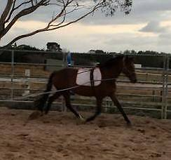 Cleveland Bay x Stockhorse Clyde Casey Area Preview