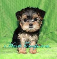 IN SEARCH OF A TEACUP MORKIE OR YORKIE PUPPY!