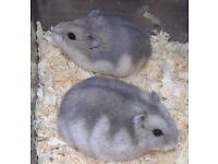 hamsters two left hand tame and will com on your hand