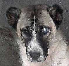 "Young Female Dog - Shepherd-Border Collie: ""JESSE (arrived)"""