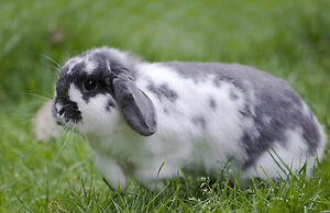 Looking for these colours of Holland lop rabbits