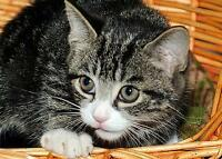 "Baby Male Cat - Tabby - Grey-Tabby - black: ""Finn"" Gatineau Ottawa / Gatineau Area Preview"