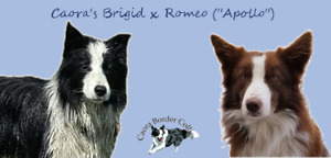 Working-Bred Border Collie Pups