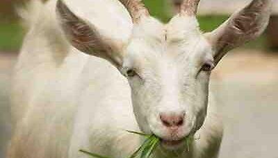 goatsarejerks
