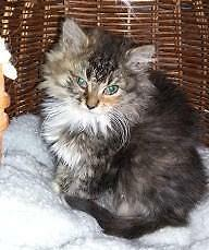 "Baby Female Cat - Domestic Long Hair - brown-Tabby: ""Poppy"""