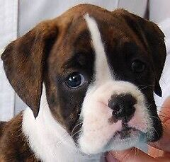 Boxer Puppy Wanted Swan Hill Swan Hill Area Preview