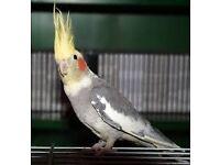 Bird Cockatiel parrot