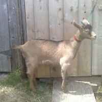 Goat kids for sale