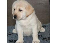 Quality KC reg Labrador puppies for sale Black/Yellow