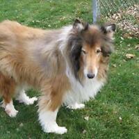 "Senior Male Dog - Collie: ""Tommy"""