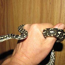 Jungle Carpet Python hatchlings Parramatta Park Cairns City Preview