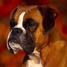 """Young Male Dog - Boxer: """"Winston"""""""
