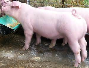 Pigs gilts porkers for sale Inverell Inverell Area Preview
