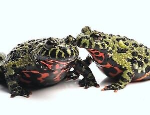 Fire belly toads need gone ASAP