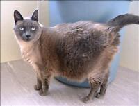 "Senior Female Cat - Siamese-Domestic Short Hair: ""Slick"""