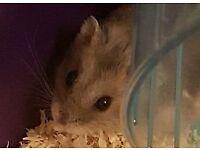 Rescue Hamster