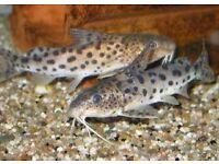 I have a few Synodontis nyassa catfish for sale.