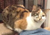 """Adult Female Cat - Calico: """"Molly"""""""