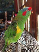 Looking for baby Parrots to hand rase Wentworthville Parramatta Area Preview