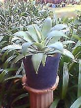 agave plants Salisbury East Salisbury Area Preview