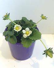 Strawberry Plants 3 for $10 or $4.95 each