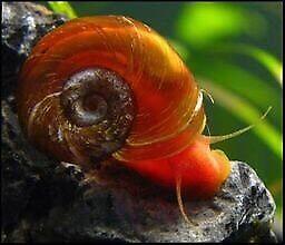 Ramshorn snail for fish tank