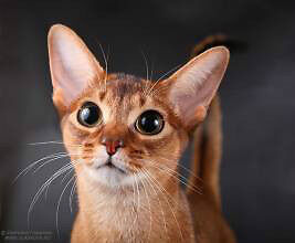 Wanted: Abyssinian cat