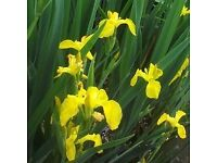 Yellow Flag Iris For Sale