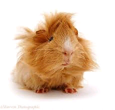 Two crazy haired male guinea pigs with all supplies