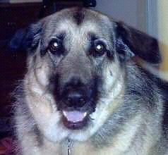 Wanted purebred German shepherd puppy