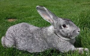 Live Meat Rabbits for sale
