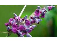 Bog /pond plant Thalia Dealbata