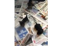 Stunning very small male Yorkshire Terrier Puppies for sale