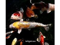 Very Large Japaneese Koi Carp for Sale