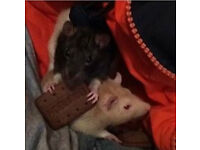 Two loving rats need a new home!