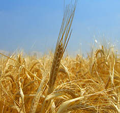 Malting barley for beer brewing for sale