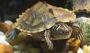Peninsula Cooter & Mississippi Map Turtle