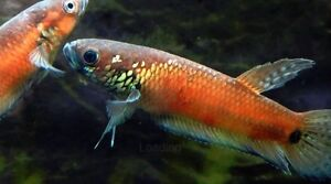 Wild Type Betta Fish Revelstoke British Columbia image 1